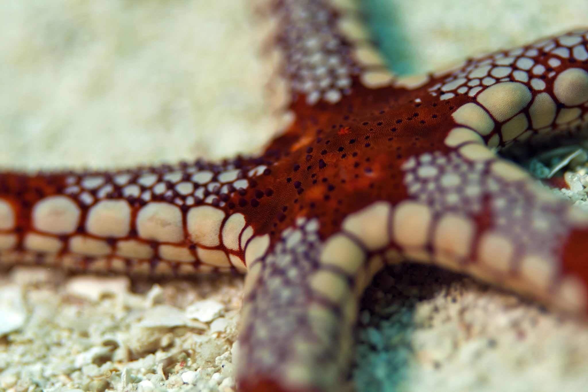 diving-in-indonesia-starfish